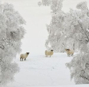 winter-sheep